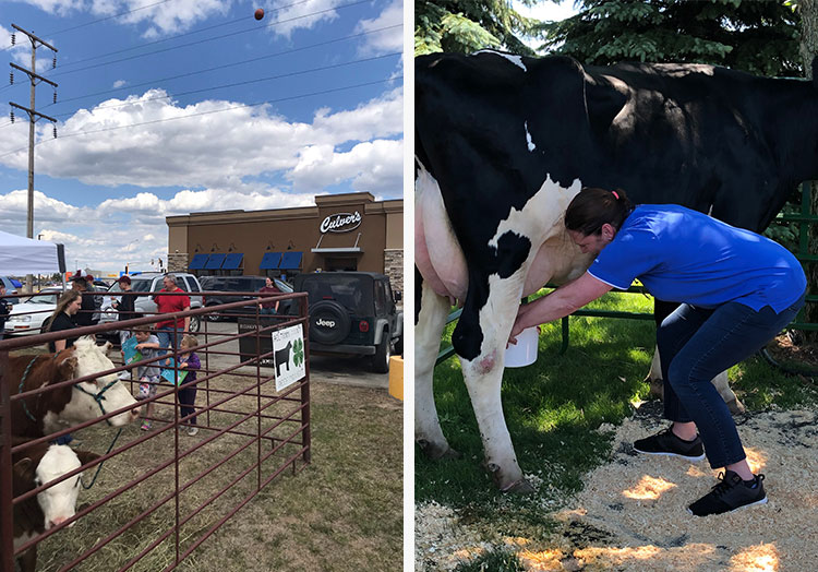 Link to story: Restaurants celebrate National Beef and Dairy Months. Cows in a pen at a Culver's restaurant and a woman milking a cow
